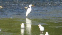seagulls, Egret, American River, salmon, water, Nature Detectives, nature, river, water