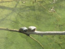 turtles, American River, water, turtles,